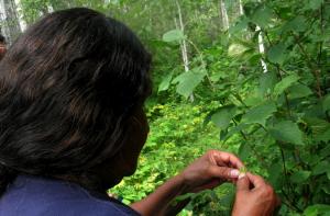 Anciano de la Nación Cree de Bigstone cosechando avellanas.