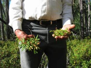 Bigstone Cree Nation healer harvesting Labrador/muskeg tea and creeping wintergreen.