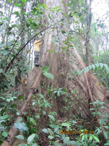 Measuring a tree's biomass, which, along with soil, is where carbon is primarily fixed and stored in the forest. Source: Catherine Potvin, Canada Research Chair on Climate Change Mitigation and Tropical Forests.
