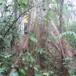 Mesurant la biomasse d'un arbre, qui, avec le sol, représente le lieu principal où le carbone se fixe et s'entrepose dans la forêt. Source: Catherine Potvin, Chaire de recherche du Canada sur l'atténuation des changements climatiques et la forêt tropicale.